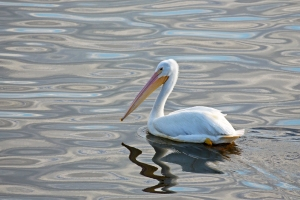 White Pelican with Unique Water Reflections