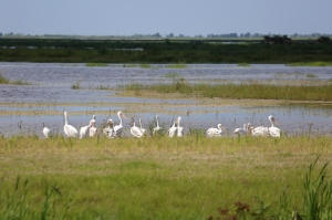 White Pelicans at Goodwin Marsh in Summer