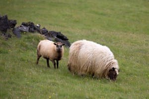 Mother Sheep and Lamb Grazing