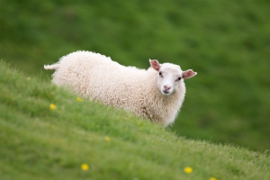 Cute Lamb on Hill