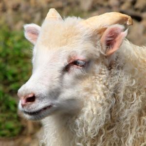 Lamb's Long Eyelashes