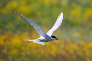 Arctic Tern Flying over Field of Buttercups