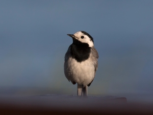 White Wagtail on Porch