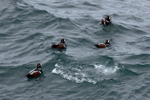 Harlequin Ducks in Heavy Surf