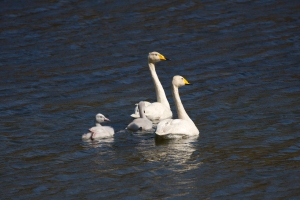 Whooper Swan Family on Lake