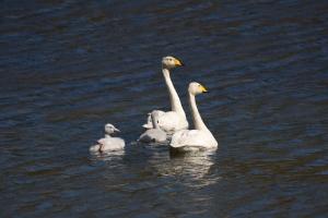 Whooper Swan Family on Lake