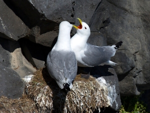 Black-Legged Kittiwake Pair