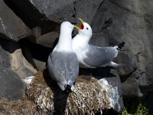 Black-Legged Kittiwake Pair