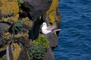 Fulmar on Colorful Lava Cliff
