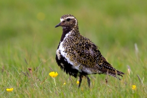 Golden Plover Arrival Signals Start of Spring