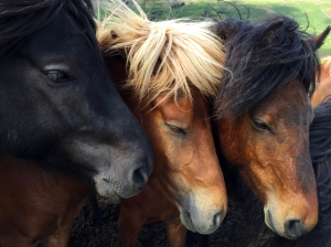 Trio of Beautiful Icelandic Horses