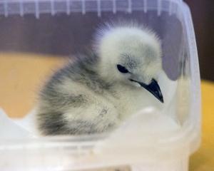 Rescued Kittiwake Chick