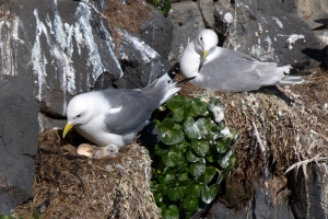 Kittiwakes with Newly Hatched Chick