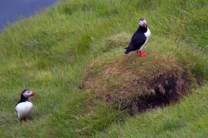 Puffin Pair Beside Underground Nest Burrow