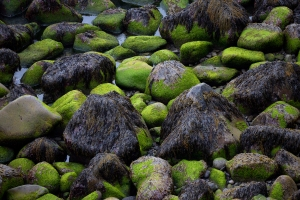 Seaweed Covered Rocks at Low Tide