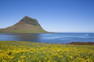 Kirkjufell and Field of Buttercups along the Sea