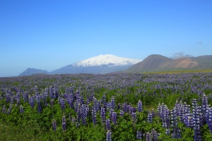 Snaefellsjokull Glacier and Lupines
