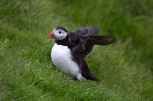 Wild Puffin Landing at Cliffside Nesting Colony