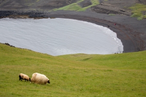 Sheep Grazing in Volcanic Landscape
