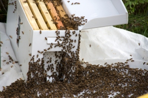 Bees in Temporary Transport Box