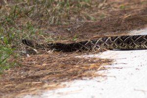 Close-up of Eastern Diamondback Rattlesnake