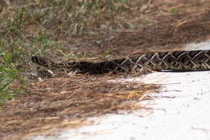 Close-up of Eastern Diamondback Rattlesnake