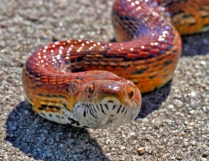 Colorful Corn Snake