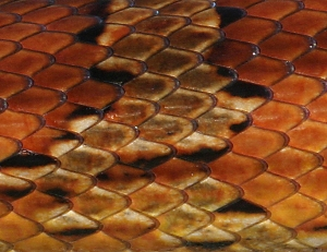 Close-up of Corn Snake Scales