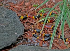 Shy Eastern Coral Snake