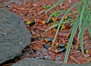 Shy Eastern Coral Snake