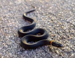 Tiny Ringneck Snake
