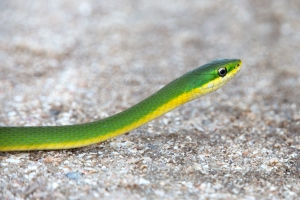 Beautiful Rough Green Snake