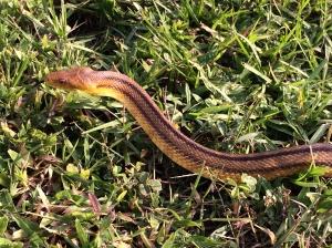 Yellow Rat Snake in Grass