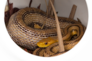 Yellow Rat Snake in Nesting Gourd