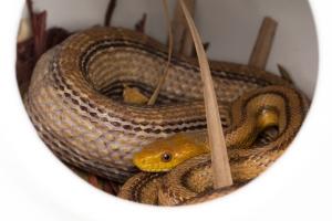 Yellow Rat Snake in Nesting Gourd