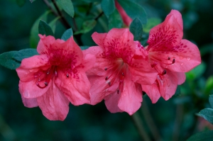 Pink Azaleas in Bloom