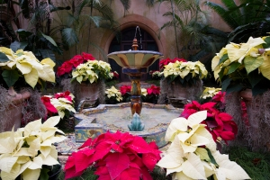 Red and White Poinsettias Around Fountain