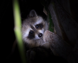 Raccoon Watching from Tree