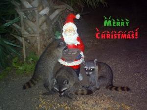 Merry Christmas Raccoons