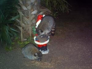 Raccoons Climbing on Santa