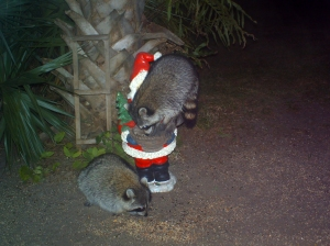 Raccoons Climbing on Santa