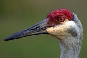 """""""Braided"""" Feathers Under Sandhill Crane Eye"""