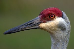 """Braided"" Feathers Under Sandhill Crane Eye"