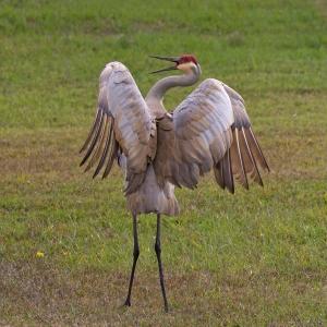 Sandhill Crane Feathers Display