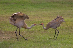 Sandhill Cranes Bill Clack