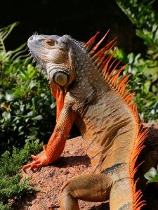 Green Iguana Sunning on Rock