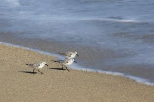 Trio of Sanderlings