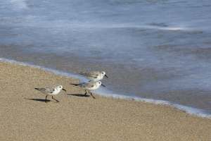 Trio of Sanderlings