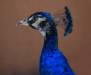 Peacock's Corona Feathers on Head