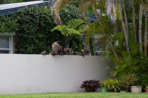 Peafowl Family on Florida Neighborhood Wall